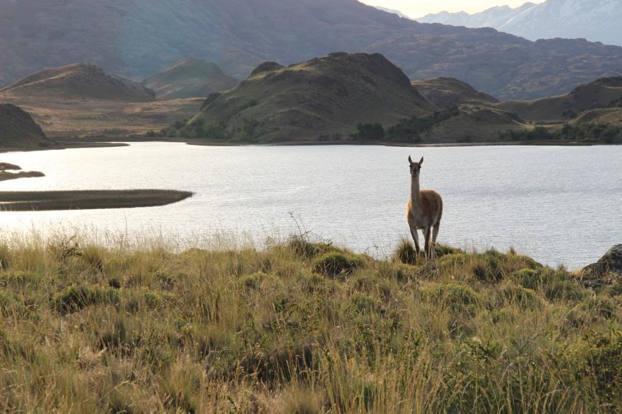 15_guanaco estancia parque patagonia